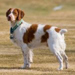Assurance animaux Epagneul Breton