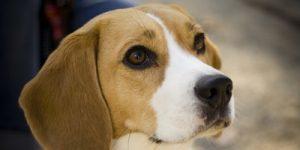 assurance santé mutuelle beagle featured