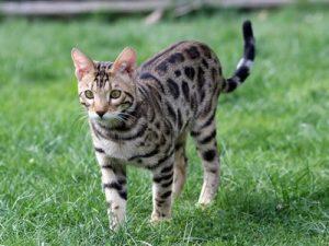 assurance santé mutuelle chat bengal