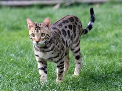 assurance sante mutuelle chat bengal
