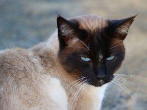 chat balinais assurance sante mutuelle-2
