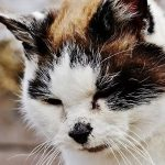 maladie lyme chat