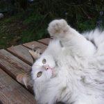 L'obésité chez le chat