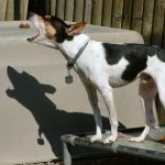 Le collier anti-aboiement pour chien
