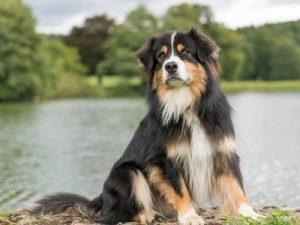berger australien assurance mutuelle chien