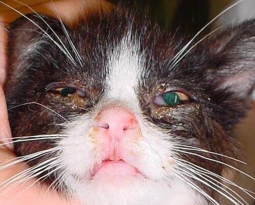 Chat atteint de la rhino du chat