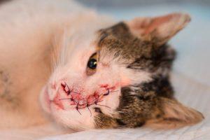 Opération vétérinaire de suppression d'une tumeur nasale cancéreuse chez le chat
