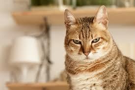 quoi faire si un chat est agressif